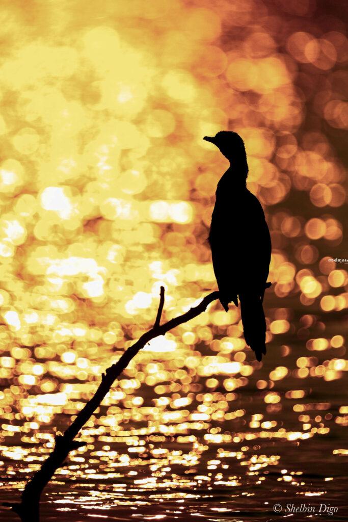 ഷെല്ബിന് ഡീഗോ, അഥവാ പക്ഷി വേട്ടക്കാരന് പക്ഷി ഫോട്ടോഗ്രാഫറായ കഥ 5